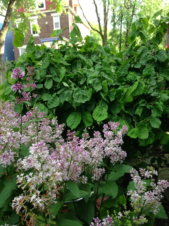 Backyard Lilacs and Harry Lauder's Walking Stick
