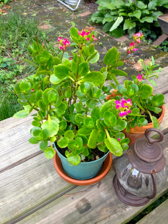Kalanchoe was a potted plant gifted from our neighbors before they left.