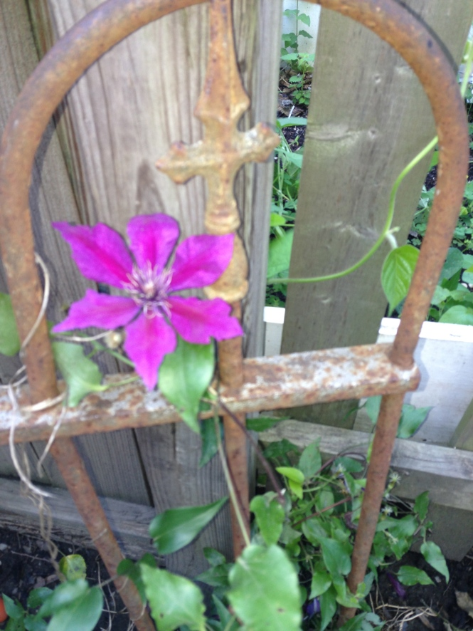 I believe this is the third year our clematis has come back, despite being trampled and covered with toys it still manages to spring up.