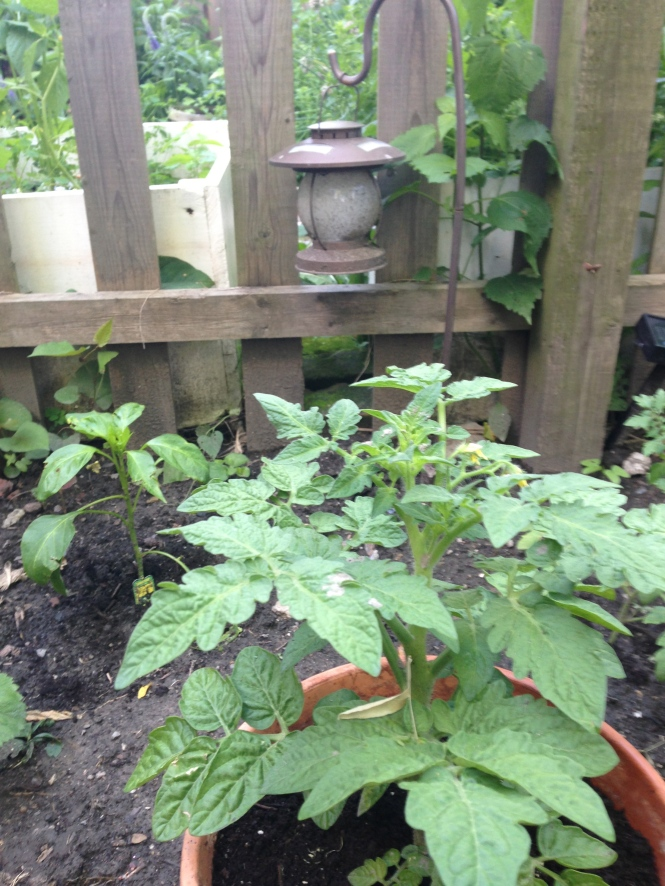 Tomato plants and pepper plants