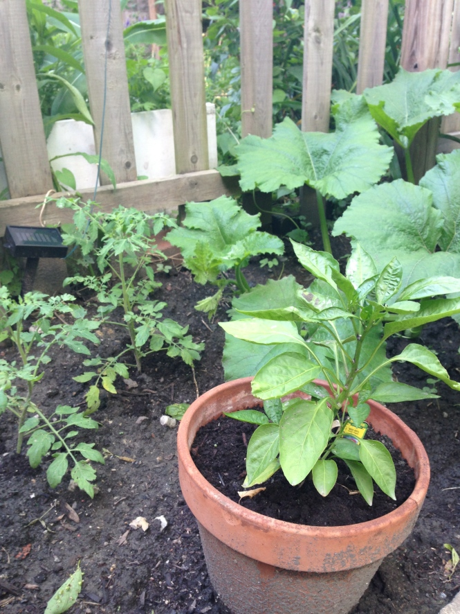 Tomato and pepper plants continued