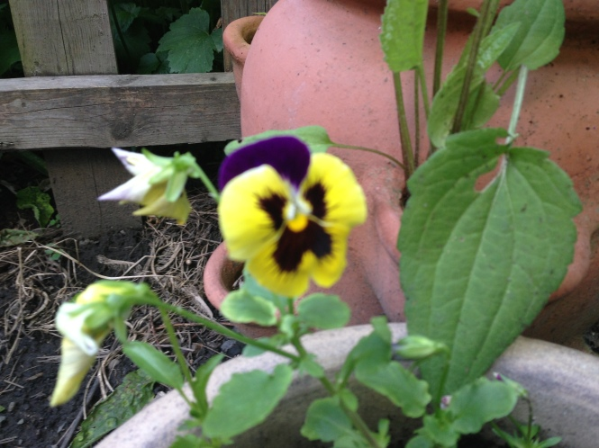 A potted pansy