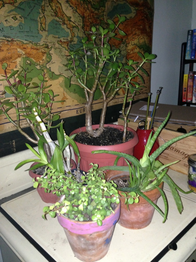 Jade plants, succulents, my orchid (stick with never blooms anymore) and aloe plants in the living room.