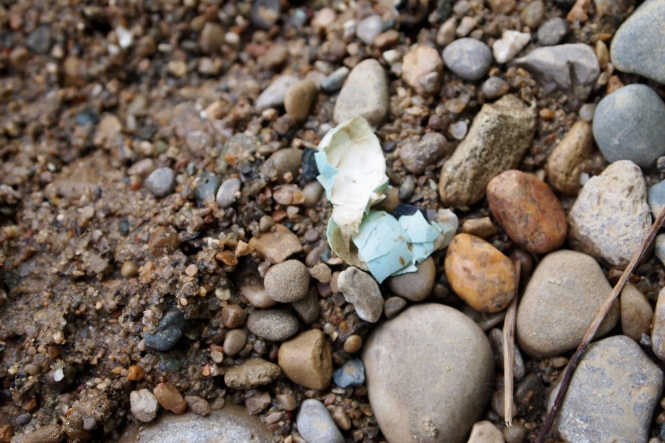 pieces of a light blue egg washed up on the riverbank