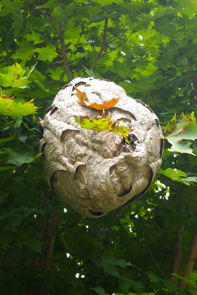 At the edge of the woods in one of the trees is a huge hornets nest.  Eventually my dad plans to take this down and hang in his garage.