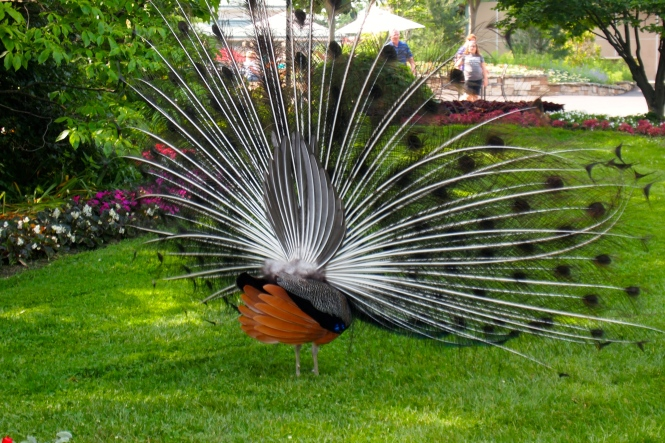 A peacock from behind is just as pretty as the front view.